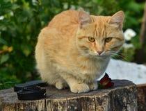 Cute cat. Cartoon and redhead stock image