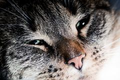 Cute cat close-up portrait. Sleepy, happy time Stock Images