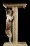 Cute Cat with Closed Eyes Scratching a Scratching Post. A cute Cornish Rex cat with closed eyes scratching and hugging a scratching post against a black Stock Image