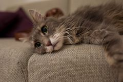 Cute cat on couch stock images