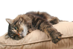 Cute cat on cushion royalty free stock image