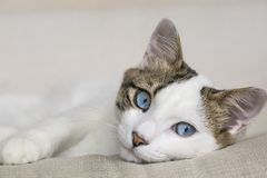 The Cute cat. Pet, blue eyed cat in house Royalty Free Stock Images