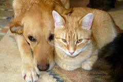 Cute cat and dog. Portrait of cute cat and dog lying together stock photography