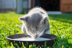 Cute cat drinks milk. On grass Stock Images