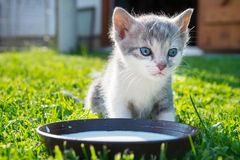 Cute cat drinks milk. On grass Stock Photos