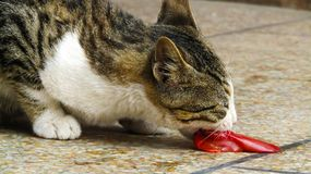 Cute Cat is Eating its food royalty free stock photography