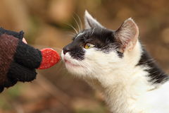 Cute cat eating salami from hand Stock Photo