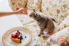 Cute cat eats something delicious from hosts hand, poses at sofa at home near plate with delicious cake with fruit. Domestic royalty free stock images