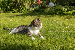 Cute cat enjoys the green grass Stock Images