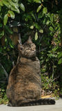 A cute cat in a garden in the summer sun. A tiger striped cat enjoys the summer sun royalty free stock image