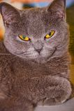 Cute gray cat close-up selective focus. Cute cat gray with yellow eyes close-up selective royalty free stock photography