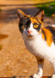 Cute Cat in Greece Royalty Free Stock Image