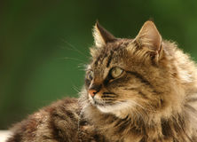 A cute Cat on green background. A cat looking aside on green blured background Stock Images