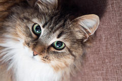 Cute cat with green eyes looking up Royalty Free Stock Images