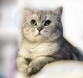 Cute Cat Grey British kitten on Light funny animals. Funny kitten with green eyes stock image