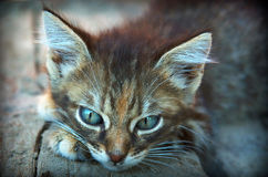 Cute cat Grey cat kitten lies on paws kitten is sad kitten waiting Stock Image