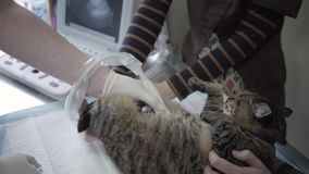 Cute cat having an ultrasound scan in vet office close up. The pet in veterinary clinic. The doctor does an ultrasound. Examination of the cat`s abdomen while stock video footage