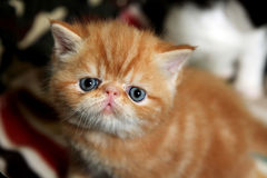 Exotic Shorthair Cat Royalty Free Stock Image