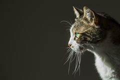 Cute Cat. In house tabby cat Stock Photo