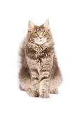 Cute cat isolated over white background Stock Photography
