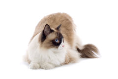 Cute cat isolated on white Stock Photography