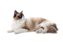 Cute cat isolated on white Royalty Free Stock Photography
