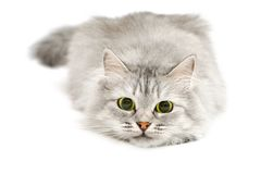 Cute cat before jump. Excited cute cat with dilated pupils before jump stock photos