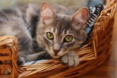 Cute cat / kitten. A cute cat / kitten sleeping in basket royalty free stock photos