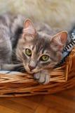 Cute cat / kitten in basket Royalty Free Stock Photo