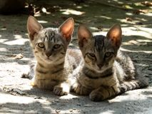 Cute Cat Kittens With Funny Expressions. Two Cute Black Grey Kittens Sitting in Light and Shadow. Funny expressions on kittens face stock image