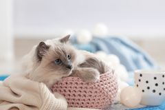 Cute cat with knitted blanket in basket at home. Warm and cozy winter royalty free stock image