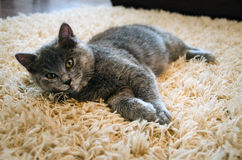Cat on carpet. A cute cat laying on carpet Stock Photography