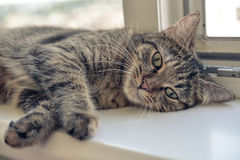 Cute cat laying. On the windowsill closeup Royalty Free Stock Photography