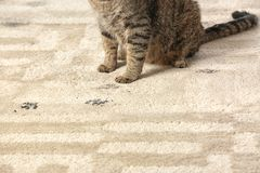 Cute cat leaving muddy paw prints. On carpet Stock Photos