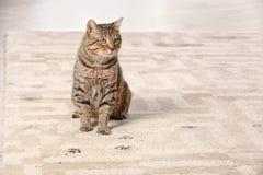 Cute cat leaving muddy paw prints. On carpet stock photo