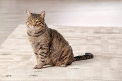 Cute cat leaving muddy paw prints. On carpet royalty free stock image