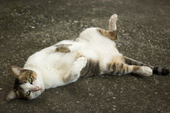 Cute cat lie. On his back on floor Royalty Free Stock Photo