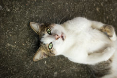 Cute cat lie. On his back on floor Royalty Free Stock Photography
