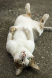 Cute cat lie. On his back on floor Stock Image