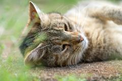 Cute cat lies behing grass Royalty Free Stock Photo