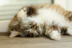A cute cat lies on her back and sleeps. With yellow eyes and a thick mustache. Close up. Stock Photo