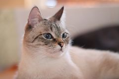 Cute cat in the living room. The beige cat with blue eyes. Lovely pet. royalty free stock photos