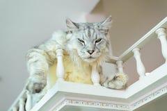 Cute cat look like lion. On balcony Stock Image