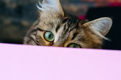 Cute cat look out through the backdrop. royalty free stock images