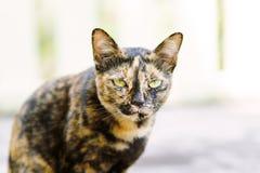 Cute cat looking at camera. Thai cat, animal and pet Stock Images