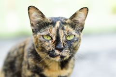 Cute cat looking at camera. Portrait of cute cat looking at camera, Thai cat, animal and pet Stock Photography