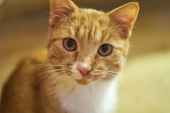 Cute cat looking into the camera. Red cat looking at the camera, a little surprised and curious Stock Photos
