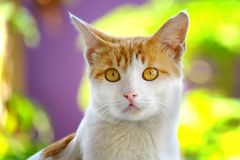 Cute cat looking at front with sharp and serious look. In its face, it have big yellow eye, make it creepy and scary, but respected Stock Photos