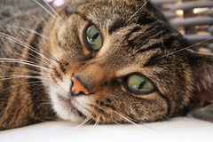 Cute Cat. Looking straight in the camera lens Royalty Free Stock Photos