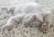 Cute cat lying on the back like on a carpet. A cute cat lying on the back like on a carpet Stock Images
